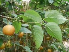 Nashi pear (Pyrus pyrifolia) -- Nashi pear (Pyrus pyrifolia)