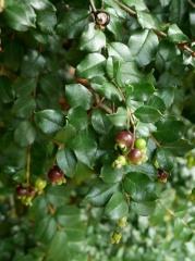 Luma apiculata — Orangebark Myrtle -- Luma apiculata — Orangebark Myrtle