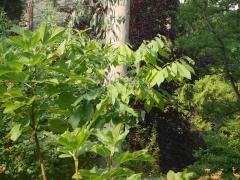 Papaw (Asimina triloba) -- Papaw (Asimina triloba)