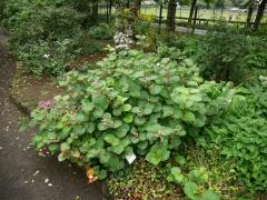 """Fallopia japonica """"Compactum"""" / Dwarf Giant Knotweed -- Fallopia japonica """"Compactum"""" / Dwarf Japanese Knotweed"""