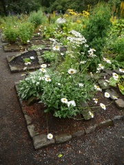 Leucanthemum -- I met people in the US who use the leaves and flowers of the larger Leucanthemums (other than L. vulgare)
