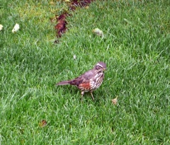 Redwing  -- It was a surprise to find that the Icelandic redwings are much tamer than in Norway. I've never got this close to one in Norway...