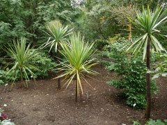 Cordylines from New Zealand  -- Cordylines from New Zealand will probably not survive the winter if left outside