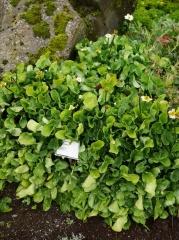 Caltha leptosepala / Western Marsh Marigold -- Caltha leptosepala / Western Marsh Marigold still just in flower