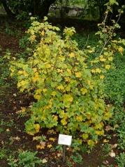 Ribes hudsonianum -- Ribes hudsonianum