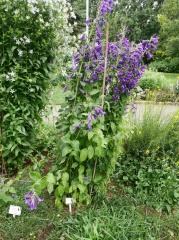 Also very  tall Campanula latifolia, Giant bellflower/Risaklukka! -- Also very  tall Campanula latifolia, Giant bellflower/Risaklukka! The long days and cool weather promotes leafy growth...one of the reasons we could grow more leafy greens in cool short season climates...