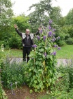 The world's tallest Campanula?
