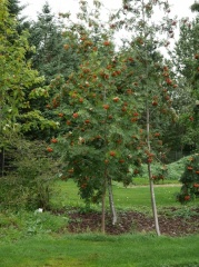 Sorbus aucuparia / Rowan / Reynir  -- Sorbus aucuparia / Rowan / Reynir