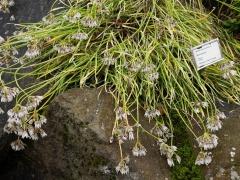 Allium insubricum -- Allium insubricum