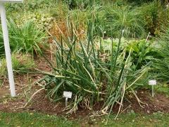 Allium fistulosum, Welsh onion/Pipulaukur -- Allium fistulosum, Welsh onion/Pipulaukur is in my book