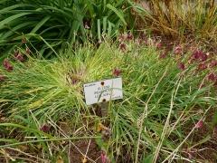 Allium insubricum / lotlaukur -- Allium insubricum / lotlaukur