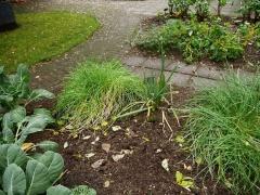 Allium schoenoprasum / chives / graslaukur  and Allium fistulosum / welsh onion -- Allium schoenoprasum / chives / graslaukur  and Allium fistulosum / welsh onion