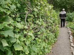 Ribes petiolare (syn. Ribes hudsonianum var petiolare) -- Ribes petiolare (syn. Ribes hudsonianum var petiolare)