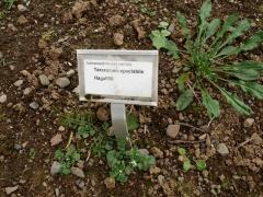 Taraxacum spectabile / hagafifil -- Taraxacum spectabile / hagafifil