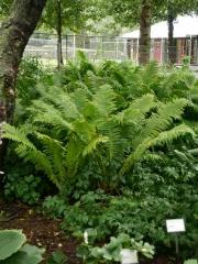 Matteuccia / Ostrich Fern  -- Matteuccia / Ostrich Fern is also a good forest garden edible that can be grown in Iceland