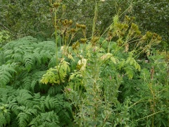 Myrrhis odorata, Sweet cicely / Spánarkerfill  -- One of the 80 in my book.