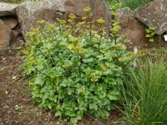 Ligusticum scoticum, Scots Lovage / Sæhvönn -- Another coastal edible
