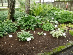 Hostas grow well on Iceland :) -- Hostas grow well on Iceland :)