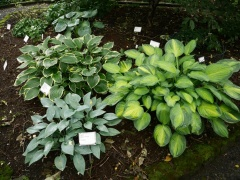 Hostas grow well on Iceland :) -- Hostas grow well on Iceland :) All Hostas can be eaten, but the largest varieties and species are best for food.