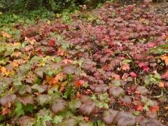 Ground cover of Ribes glandulosum -- Ground cover of Ribes glandulosum