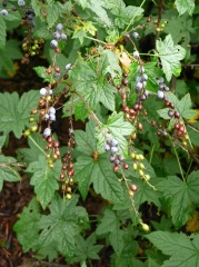 Ribes bracteosum / Stink Currant -- Ribes bracteosum/Stink Currant is native to western North America including Alaska