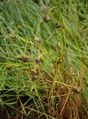 Allium oleraceum / Field garlic / Villilaukur -- Allium oleraceum / Field garlic / Villilaukur - I tell the story of how this onion arrived in Iceland in my book!