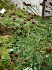 Sanguisorba officinalis / Great Burnet /Blóðkollur  -- Sanguisorba officinalis / Great Burnet /Blóðkollur