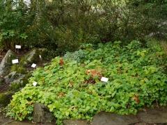 Fragaria vesca / Wild strawberry / Jarðarber and Argentina anserina / Silverweed / Tágamura -- Fragaria vesca / Wild strawberry / Jarðarber