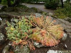 Rhodiola rosea / Roseroot/  Burnirót -- Rhodiola rosea / Roseroot/  Burnirót