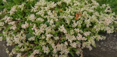 Sedum vuralianum -- Sedum vuralianum, edible but probably strong tasting