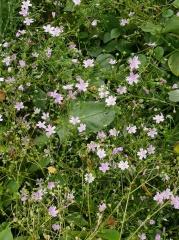 Claytonia sibirica, Siberian purslane/ Rósagrýta  -- Claytonia sibirica, Siberian purslane/ Rósagrýta