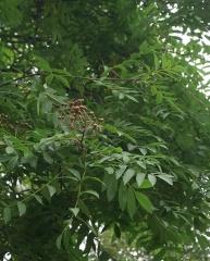 """Sorbus aucuparia """"Edulis"""", Rowan/Reynir -- Sorbus aucuparia """"Edulis"""", Rowan/Reynir has sweeter berries than the species"""