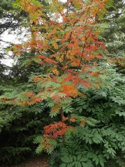 Sorbus aucuparia ssp. pohuashanensis -- Sorbus aucuparia ssp. pohuashanensis