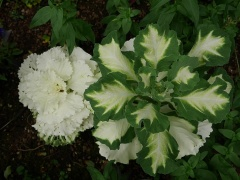 Ornamental cabbages -- Ornamental cabbages