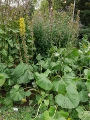 Ligularia fischeri -- Ligularia fischeri is a great spring vegetable from Korea. It also grows well in Iceland!