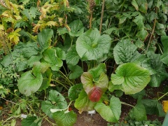 Ligularia hodgsonii  -- Ligularia hodgsonii has also been used as a vegetable