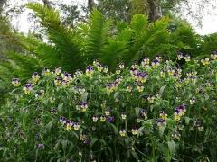 Viola tricolor with Ostrich Ferns -- Viola with Ostrich Ferns
