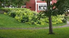Alchemillas in the Akureyri Museum garden -- Alchemillas in the Akureyri Museum garden
