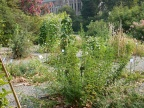 The University of Washington medicinal garden