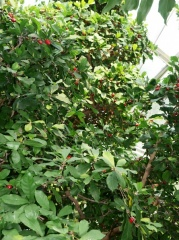 Synsepalum dulcificum, Miracle Fruit -- Synsepalum dulcificum is a plant known for its berry that, when eaten, causes sour foods (such as lemons) eaten afterwards to taste sweet!