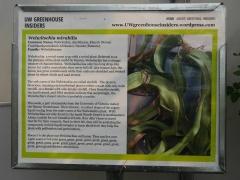 Welwitschia mirabilis -- Read more here: Welwitschia mirabilis