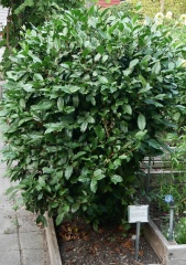 Tea / Camellia sinensis -- Tea / Camellia sinensis