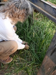 "Arthur investigates if there are any ""nuts"" under this Chufa  -- Tiger nuts / chufa / Cyperus esculentus - he found no tubers..."