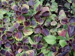 Edible leaf amaranth -- Edible leaf amaranth