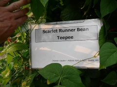 Runner bean Teepee  -- Runner bean Teepee