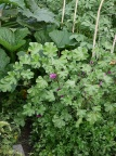 Malva sylvestris / Common mallow