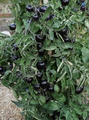 Black Tomatoes -- Black Tomatoes
