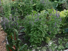 Anise Hyssop -- Anise Hyssop
