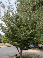 Cornus kousa -- Both Cornus kousa (picture) and Arbutus (Strawberry Tree) were common fruit-bearing street trees in Seattle