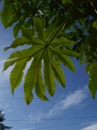 Tetrapanax in Rob Wagner's yard